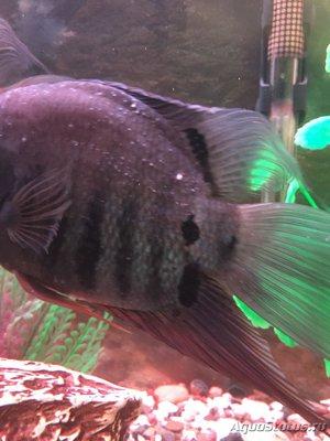 Определение и диагностика болезней у аквариумных рыб - IMG_0866.JPG
