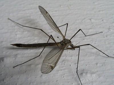 Мог ли комар вылупиться из мотыля? - -дергун.jpg