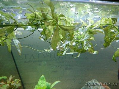 Опознание аквариумных растений - DSC_0458 (Копировать).JPG