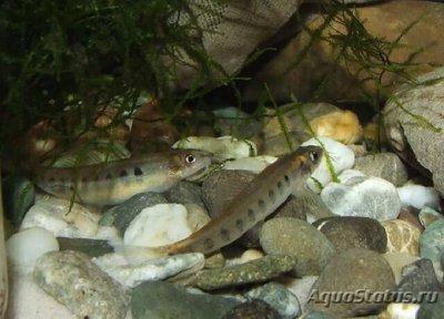 Немахелиус орнатус Nemacheilus ornatus  - 1497533134_nemacheilus-ornatus-4.jpg