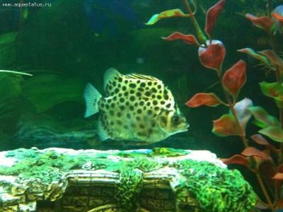 Помогите опознать рыбку опознание рыб  - IMG_0795.jpg