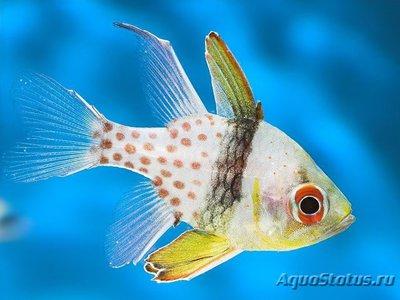 Апогон - бабочка жёлтый Sphaeramia nematoptera  - 1421594683_sphaeramia-nematoptera-1.jpg