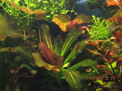 Опознание аквариумных растений - IMG_1460.JPG