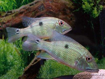 Caтанаперка Лилит Satanaperca lilith  - 1488654967_satanoperca-lilith-1(2).jpg