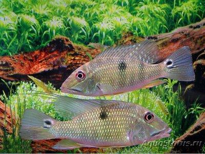 Caтанаперка Лилит Satanaperca lilith  - 1488655014_satanoperca-lilith-2.jpg