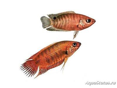 Maкропод цейлонский Belontia singata  - 1433441828_makropod-ceylonskiy.jpg