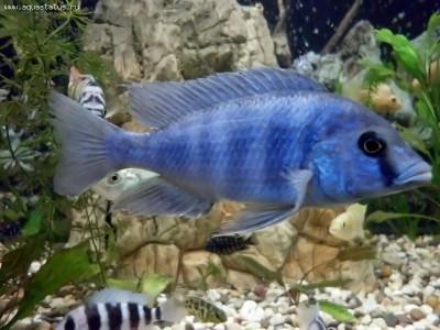 Помогите опознать рыбку опознание рыб  - 01.jpg