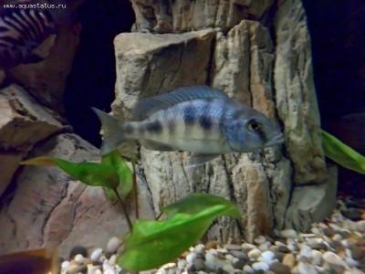 Помогите опознать рыбку опознание рыб  - 02.jpg