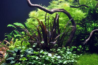 Аквариумные растения - опознание растений. - ап 2.png