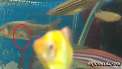 Критические ситуации в аквариуме - как себя вести? - Барбус с дыркой.jpg