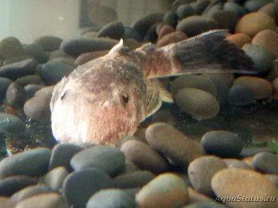 Определение и диагностика болезней у аквариумных рыб - Сома.jpg