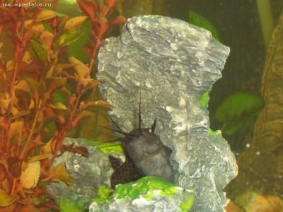 Помогите опознать рыбку опознание рыб  - IMG_0081.JPG