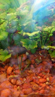 Опознание аквариумных растений - DSC_0129.JPG