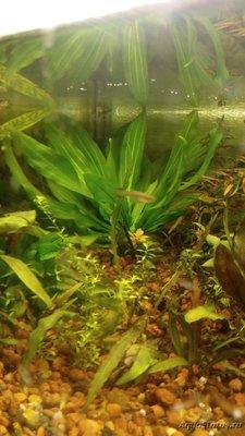 Опознание аквариумных растений - DSC_0111.JPG