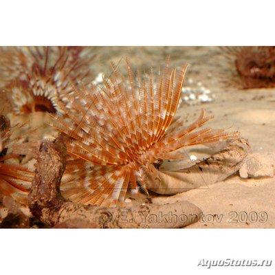 Веерный червь Сабеластарта магнифика Sabellastarte magnifica  - K5d20(2).jpg
