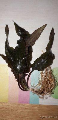Опознание аквариумных растений - Криптокарина.jpg