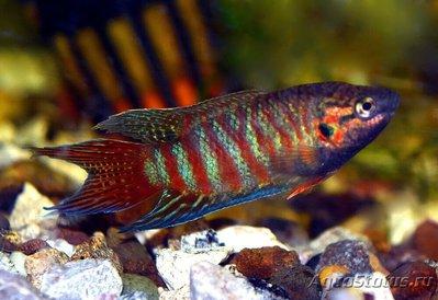 Помогите опознать рыбку опознание рыб  - Макропод.jpg
