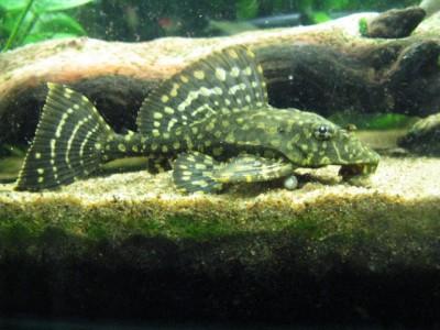Помогите опознать рыбку опознание рыб  - IMG_2834.jpg