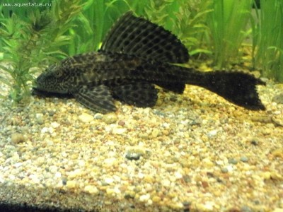 Помогите опознать рыбку опознание рыб  - DSC01387.JPG