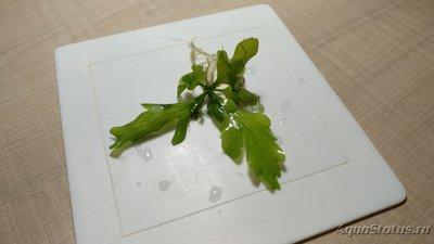 Опознание аквариумных растений - IMG_20191014_145405.jpg