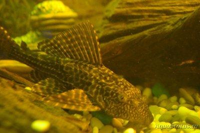 Помогите опознать рыбку опознание рыб  - DSC_2876.JPG