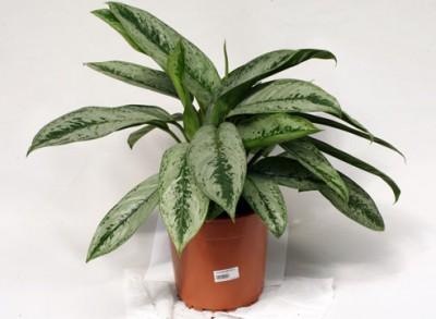 Растения продающиеся под видом аквариумных - aglaonema2.jpg