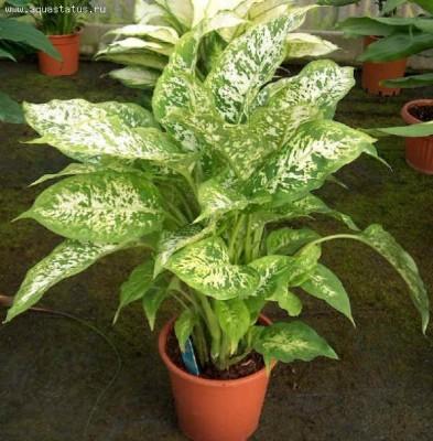 Растения продающиеся под видом аквариумных - dieffenbachia2.jpg