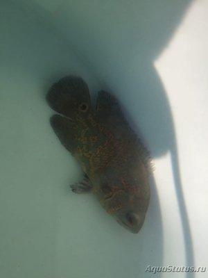 Определение и диагностика болезней у аквариумных рыб - IMG_2496.JPG