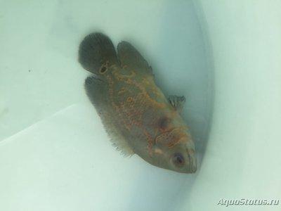 Определение и диагностика болезней у аквариумных рыб - IMG_2498.JPG