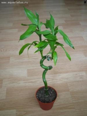 Растения продающиеся под видом аквариумных - Dracaena2.jpg