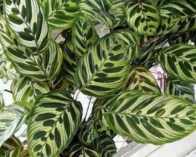 Растения продающиеся под видом аквариумных - Калатея2.jpg