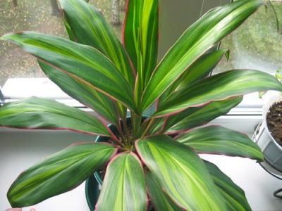 Растения продающиеся под видом аквариумных - кордилина2.jpg