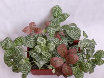 Растения продающиеся под видом аквариумных - фиттония1.jpg