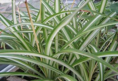 Растения продающиеся под видом аквариумных - хлорофитум2.jpg