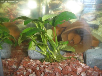 Аквариумные растения - опознание растений. - PB120141.JPG