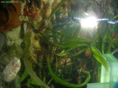 Аквариумные растения - опознание растений. - PB120142.JPG