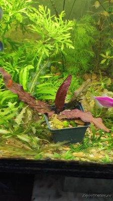 Опознание аквариумных растений - IMG_20200401_173122.jpg