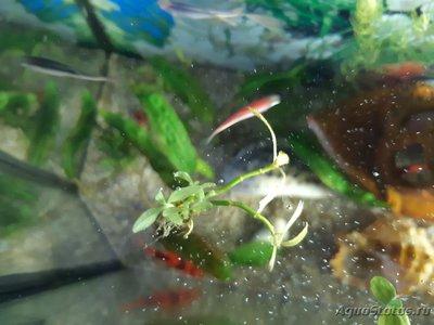 Опознание аквариумных растений - 20200402_152518.jpg