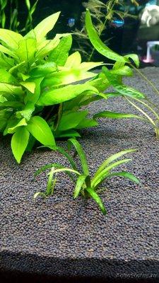 Опознание аквариумных растений - IMG_20200409_105558.jpg