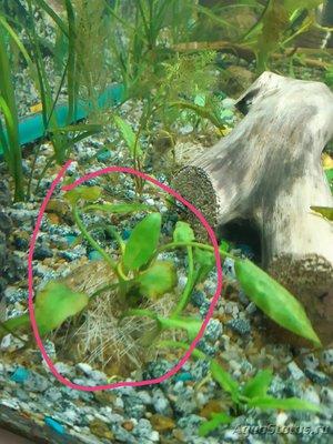 Опознание аквариумных растений - 20200422_175601.jpg