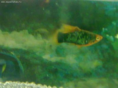 что за рыбка ? - 22112011158.jpg