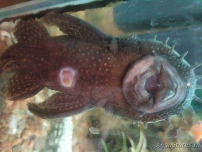 Определение и диагностика болезней у аквариумных рыб - IMG_20201030_003038.jpg