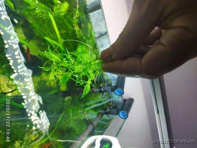 Опознание аквариумных растений - 1606036806411.jpg