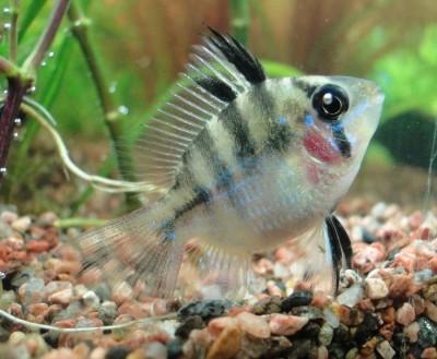 Мой аквариум 35 литров Студентка  - 004.jpg