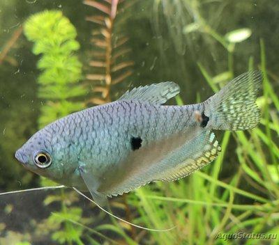 Как узнать пол у рыбок? - IMG_20210105_122625.jpg