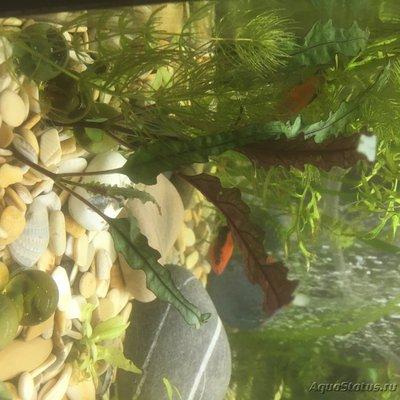 Опознание аквариумных растений - 3425F7A0-08E9-4785-A6AA-BC1EF84270A1.jpeg