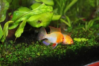 Мои аквариумы Алексей7  - IMG_0271.JPG
