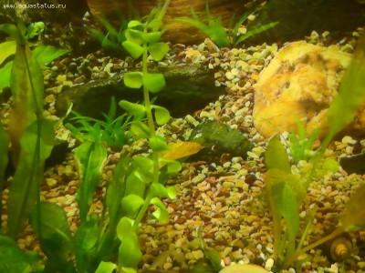 Аквариумные растения - опознание растений. - PIC_0249.JPG