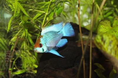 Мои аквариумы Алексей7  - IMG_0232.JPG