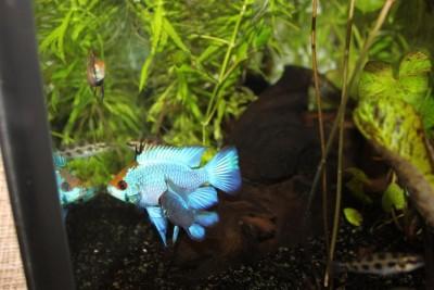 Мои аквариумы Алексей7  - IMG_0257.JPG
